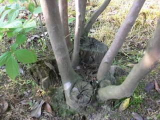 雑木類の剪定
